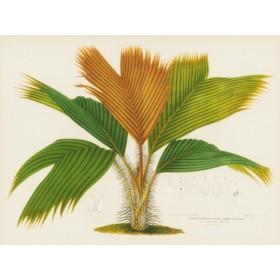 Palm Seychelles