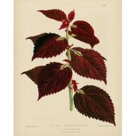 Coleus Crimson Velvet