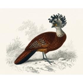Exotic Pheasant I