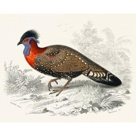Exotic Pheasant II